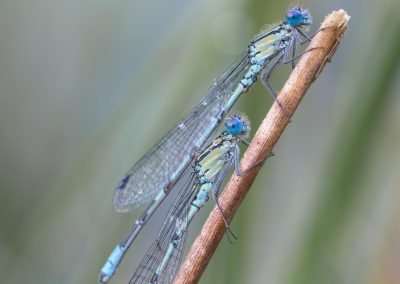 waterjuffers-en-libellen-2